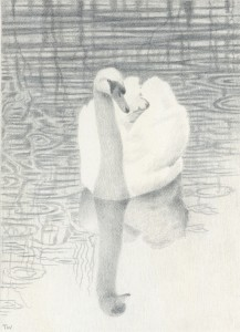 Silverpoint drawing of a swan - copyright Toni Watts