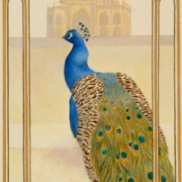 Indian Peacock.